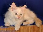 Фотография в Кошки и котята Продажа кошек и котят Питомник сибирских кошек предлагает Вам сибирскую в Ярославле 10000