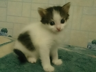 Изображение в Отдам даром - Приму в дар Отдам даром котик черно белый, трехцветная девочка, отдадим в Ярославле 0