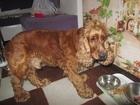 Новое foto Потерянные найден рыжий спаниель 32951270 в Ярославле