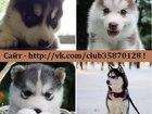 Фотография в Собаки и щенки Продажа собак, щенков СИБИРСКОЙ ХАСКИ щеночков разных окрасов, в Ярославле 5000