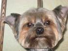 Фотография в   Стрижка, стриппинг (щипка)собак и кошек:цвергшнауцер, в Ярославле 0