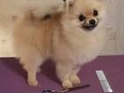 Фото в Собаки и щенки Стрижка собак ПРЕДЛАГАЮ КОМПЛЕКСНЫЙ УХОД ДЛЯ СОБАК: ЙОРК, в Ярославле 0