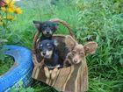 Фото в Собаки и щенки Продажа собак, щенков Той-терьера чистокровных щеночков с документами в Ярославле 0