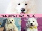Фотография в Собаки и щенки Продажа собак, щенков Очень красивые щеночки самоеда продаются в Москве 0