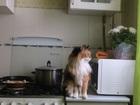 Просмотреть изображение  Ищу кота для вязки курильский бобтейл 38886129 в Ярославле