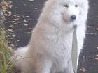 Уникальное изображение Вязка собак Кобель породы Самоедская лайка для вязки 56803184 в Ярославле