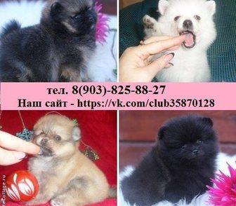 Фото в Собаки и щенки Продажа собак, щенков ШПИЦА чистокровных и нечистокровных щеночков в Ярославле 9000