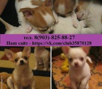 Фотография в Собаки и щенки Продажа собак, щенков ЧИХУА-ХУА чистокровных красивеееенных щеночков в Ярославле 123