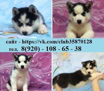 Фотография в Собаки и щенки Продажа собак, щенков ЯРКИХ ЧЕРНО-БЕЛЫХ ГОЛУБОГЛАЗЫХ щеночков ХАСКИ в Ярославле 0