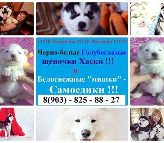 Фото в Собаки и щенки Продажа собак, щенков Белоснежные щеночки-самоедики, продам недорого. в Ярославле 0