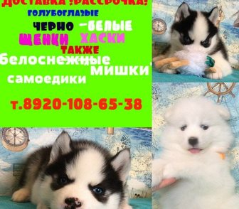 Изображение в Собаки и щенки Продажа собак, щенков Белоснежных очаровательных щеночков самоедов в Ярославле 0