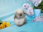 Просмотреть фото  Вислоухие крольчата для дома и семьи 83360057 в Электростали