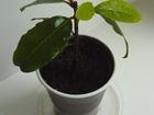 Изображение в Домашние животные Растения Продам саженец лавра. в Энгельсе 200