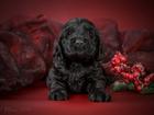 Фото в Собаки и щенки Продажа собак, щенков Продаются черный мальчик и девочка с отличной в Йошкар-Оле 0