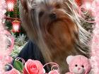 Фотография в Собаки и щенки Продажа собак, щенков Роскошные щенки йоркширского терьера из питомника в Югорске 25000
