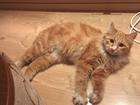Новое фотографию Потерялись животные найден рыжий котик на Пуркаева 51 52821122 в Южно-Сахалинске