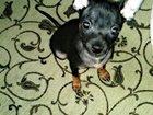Фотография в Собаки и щенки Вязка собак Мальчик, красивый. 1, 5 г. Калининград. в Калининграде 0