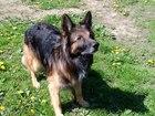 Уникальное фотографию Вязка собак Ищем сучку для вязки немецкой овчарки(зонарный лохмач) 66352379 в Калининграде