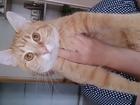 Смотреть фото Вязка кошек нужен кот рыжего окраса для первой вязки, кошке 10 месяцев 66589235 в Калининграде