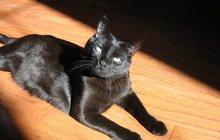 Бомбейская кошка-охотница ищет добрую семью
