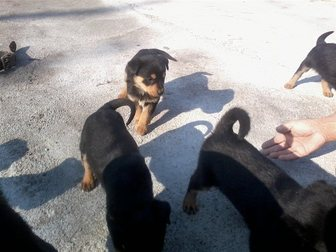 Смотреть фото Отдам даром отдам щенков ротвейлера в хорошие руки 33713420 в Калининграде