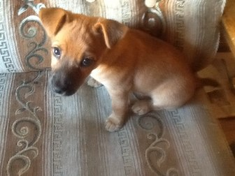 Просмотреть фотографию Отдам даром - приму в дар отдам в хорошую семью щенка 3 мес, помесь ягтерьера 39757608 в Калининграде