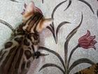 Фото в Кошки и котята Продажа кошек и котят Чистокровная бенгальская кошечка в разведение в Москве 0