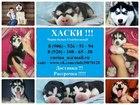 Фотография в Собаки и щенки Продажа собак, щенков Великолепные хасята с голубыми и разноглазыми в Калуге 0