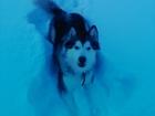 Уникальное фотографию Вязка собак Нужен кобель для вязки,девочка не развязанная,имеет много наград находимся в Калужской обл, Все вопросы по телефону :89997357825 Егор 66481292 в Серпухове