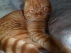 Скачать фото Вязка кошек Ищем опытную кошечку для первой вязки, 66636331 в Калуге