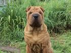 Скачать бесплатно фото Потерялись животные потерялась собака породы шар пей 71479635 в Калуге
