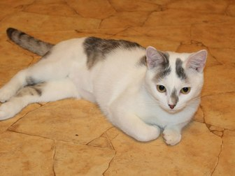 Увидеть изображение Отдам даром - приму в дар Симпатичный юный котик Болтик, в добрые руки 66515076 в Калуге