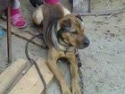 Фото в Потерянные и Найденные Потерянные пропала собака. шарпей скрещенная с Ротвейлером. в Камышине 0