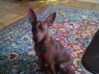 Изображение в Собаки и щенки Вязка собак Вес 5 кг. , окрас шоколадный. в Камышине 0