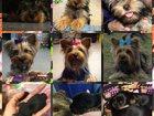 Фото в Собаки и щенки Продажа собак, щенков Щенки будут готовы к продаже в конце апреля. в Канске 20000