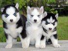 Изображение в Собаки и щенки Продажа собак, щенков Санкт-Петербург. Продаются щенки хаски. От в Санкт-Петербурге 35000