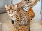 Скачать бесплатно фотографию Другие животные котята кота-рыбалова 34532014 в Казани