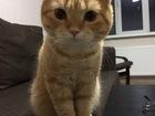 Фото в Кошки и котята Вязка Шотландский вислоухий кот (красный тэбби) в Казани 0