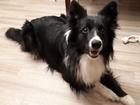 Уникальное foto Вязка собак Кобель Бордер-Колли, родословная, все документы, 2,5 года, Ищем сучку для вязки, 62204942 в Казани