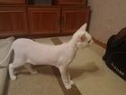 Увидеть изображение  Белый славный кот без титулов и пород заморских ищет невесту 66448855 в Казани