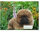 Фото в Собаки и щенки Продажа собак, щенков очаровательные щенки чау-чау, пушистые медвежата в Кемерово 15000
