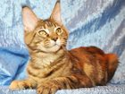 Фотография в Кошки и котята Продажа кошек и котят Продается крупная кошечка мейн-кун, окрас в Кемерово 0