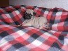 Изображение в Собаки и щенки Продажа собак, щенков Мопс бежевая девочка от Чемпионов 1, 5 мес. в Кемерово 15000