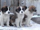 Изображение в Домашние животные Разное Продаются щенки сенбернара д. р. 27. 08. в Кемерово 15000