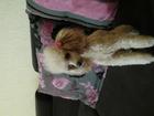 Фото в Собаки и щенки Вязка собак Ищем карликового пуделя абрикос мальчика в Кемерово 0
