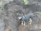 Изображение в Собаки и щенки Вязка собак На вязки не был, вакцинация проводится каждый в Кемерово 0