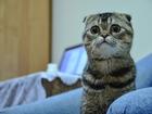 Фотография в Кошки и котята Вязка Мальчик, 1 год, ищет девочку. в Кемерово 0