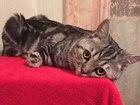 Изображение в Кошки и котята Вязка британец 1 год в Кемерово 0