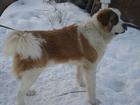 Просмотреть фото Вязка собак Красавец кобель москвич для вязки 38583508 в Алушта