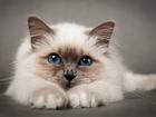 Фото в Домашние животные Услуги для животных Стрижка кошек с выездом на дом. Гигиеническая в Кемерово 800